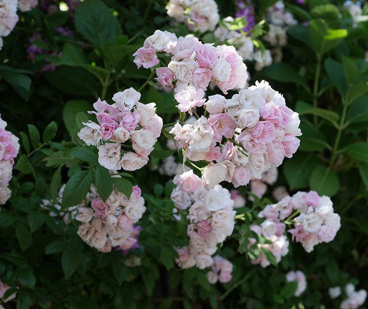 群舞(ツルバラ)の花が白くなってきた。2019年-1.jpg