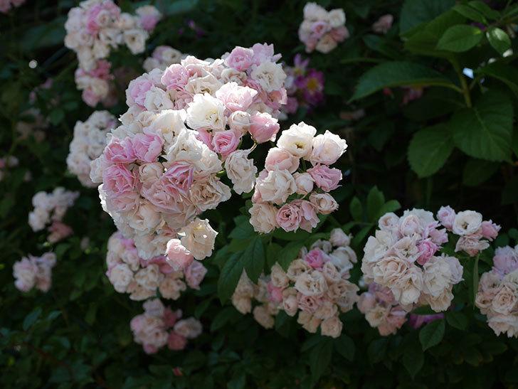 群舞(ツルバラ)の花が白くなってきた。2019年-10.jpg