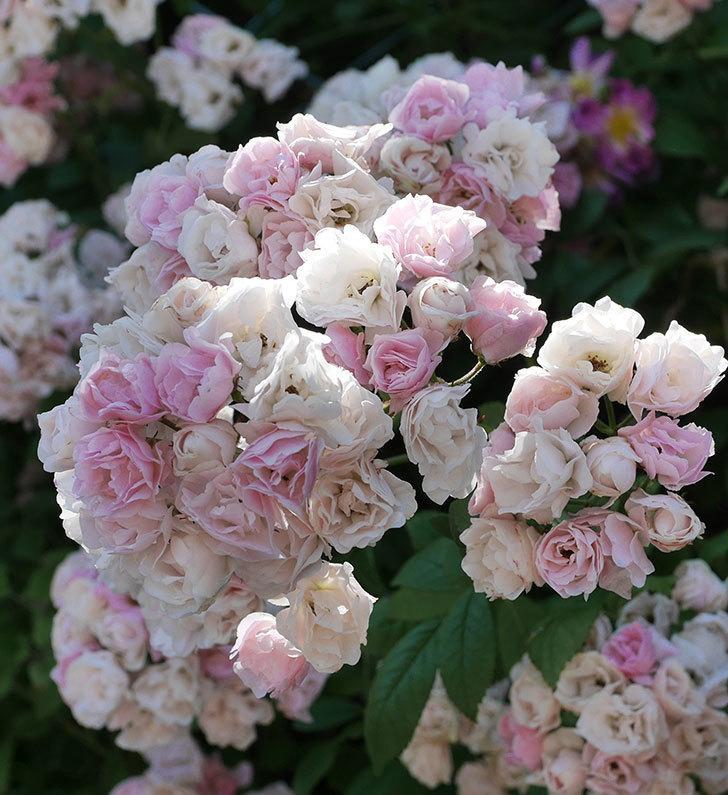 群舞(ツルバラ)の花が白くなってきた。2019年-11.jpg
