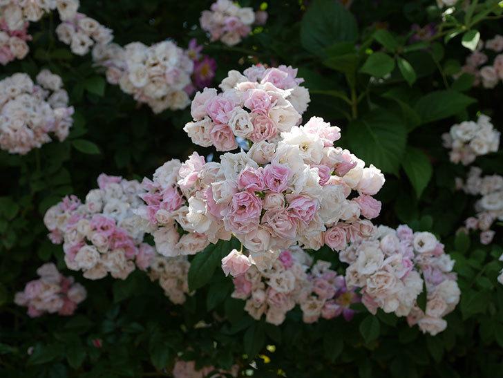 群舞(ツルバラ)の花が白くなってきた。2019年-12.jpg