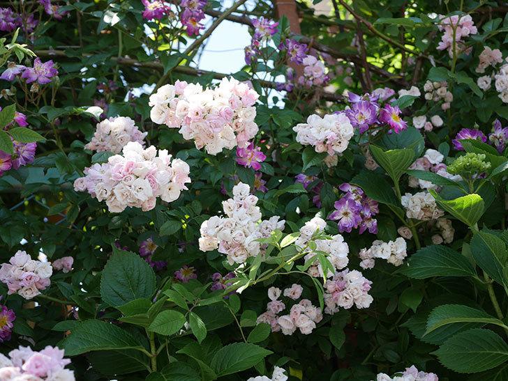 群舞(ツルバラ)の花が白くなってきた。2019年-13.jpg