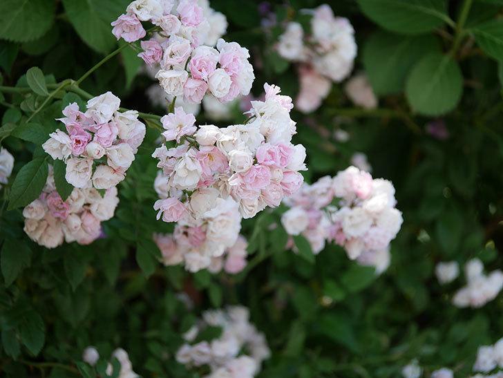 群舞(ツルバラ)の花が白くなってきた。2019年-14.jpg