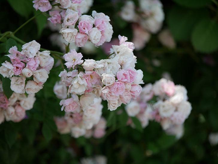 群舞(ツルバラ)の花が白くなってきた。2019年-15.jpg
