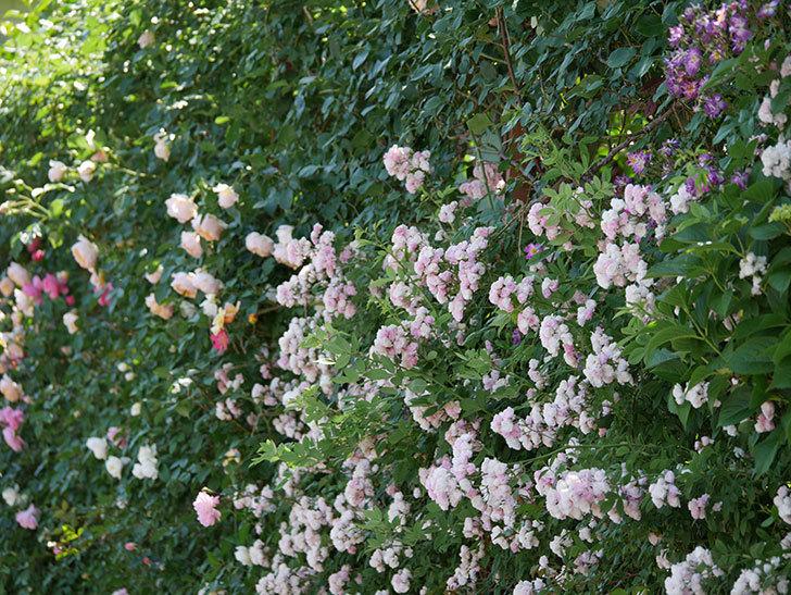 群舞(ツルバラ)の花が白くなってきた。2019年-16.jpg