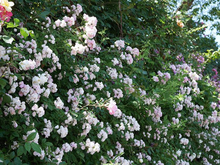 群舞(ツルバラ)の花が白くなってきた。2019年-2.jpg
