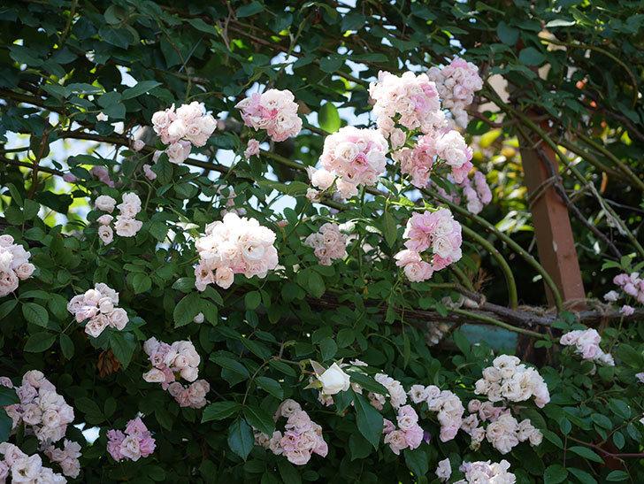 群舞(ツルバラ)の花が白くなってきた。2019年-3.jpg
