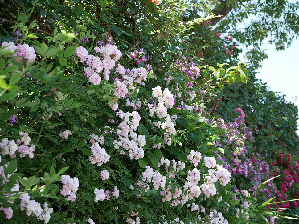 群舞(ツルバラ)の花が白くなってきた。2019年-4.jpg