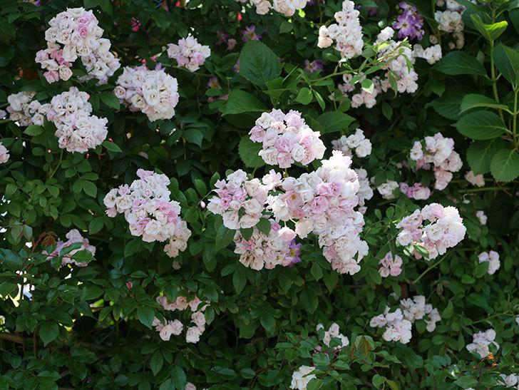 群舞(ツルバラ)の花が白くなってきた。2019年-5.jpg