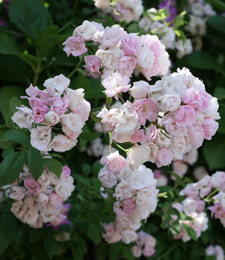 群舞(ツルバラ)の花が白くなってきた。2019年-7.jpg