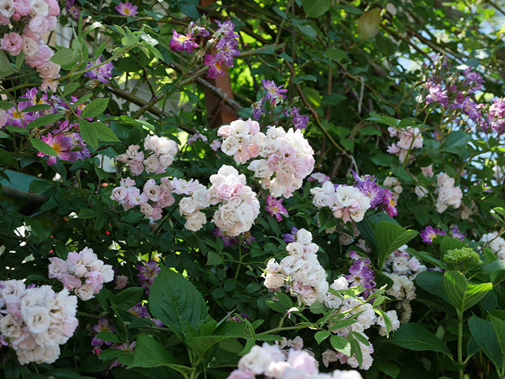 群舞(ツルバラ)の花が白くなってきた。2019年-8.jpg