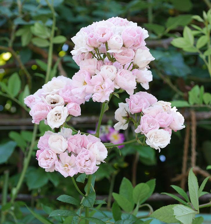 群舞(ツルバラ)の花が白くなってきた。2019年-9.jpg