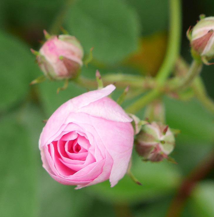 群舞(ツルバラ)の花が開いて来た。2020年-2.jpg