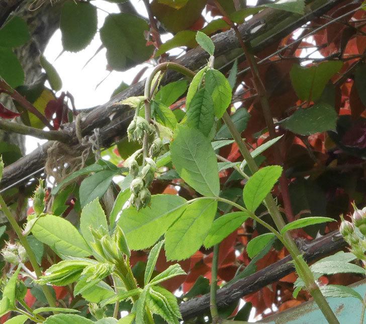 群舞(ツルバラ)の蕾付きの新枝が1本バラクキバチにやられて萎れた。2019年-1.jpg