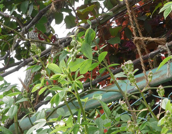 群舞(ツルバラ)の蕾付きの新枝が1本バラクキバチにやられて萎れた。2019年-2.jpg