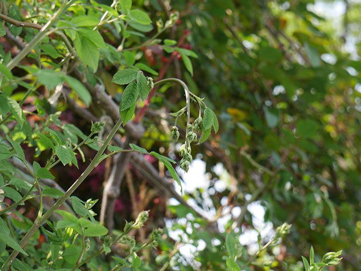 群舞(ツルバラ)の蕾付の新枝が2本バラクキバチにやられて萎れた。2019年-2.jpg