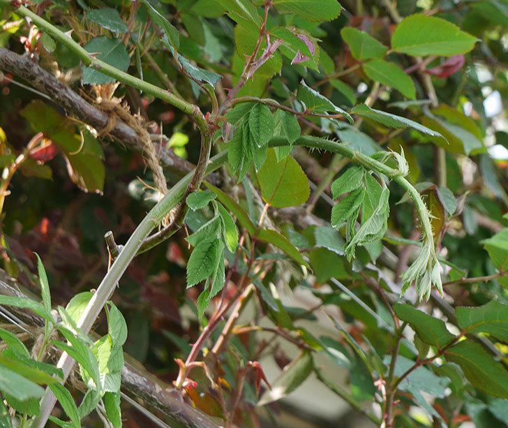 群舞(ツルバラ)の蕾付の新枝が2本バラクキバチにやられて萎れた。2019年-3.jpg
