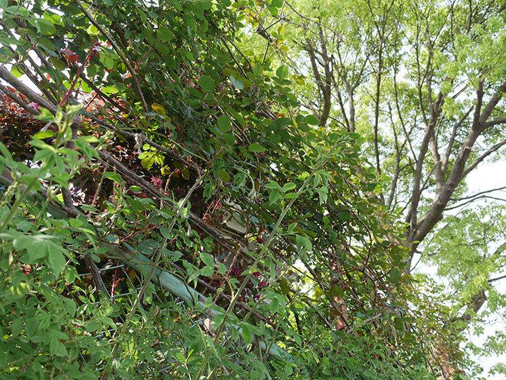 群舞(ツルバラ)の蕾付の新枝が2本バラクキバチにやられて萎れた。2019年-4.jpg