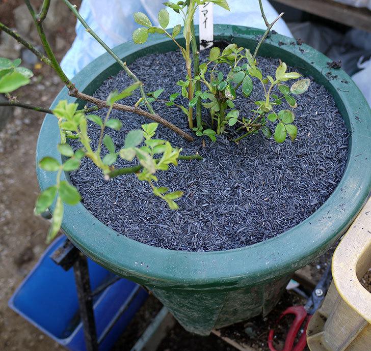 群舞(ツルバラ)をスリット鉢に植えた。2017年-1.jpg