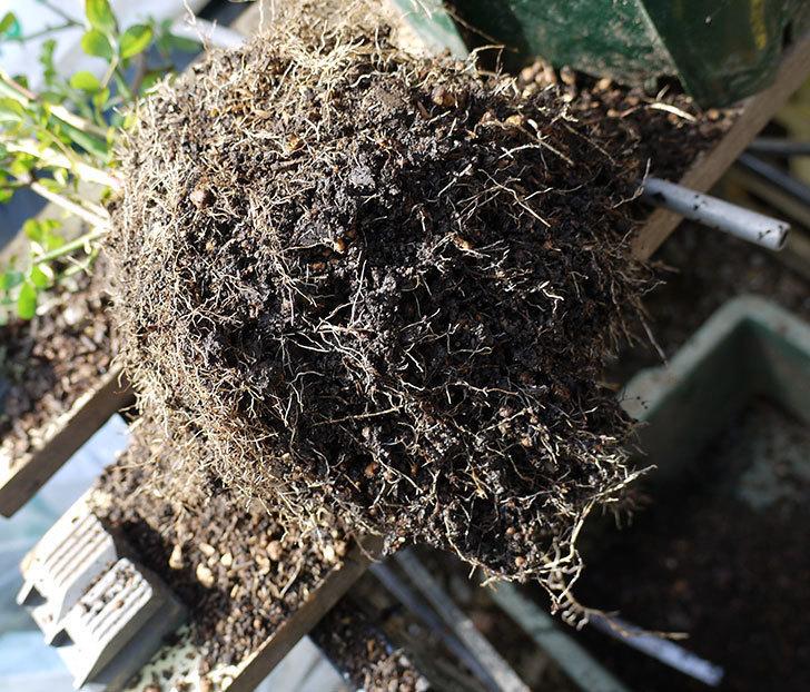 群舞(ツルバラ)をスリット鉢に植えた。2017年-4.jpg