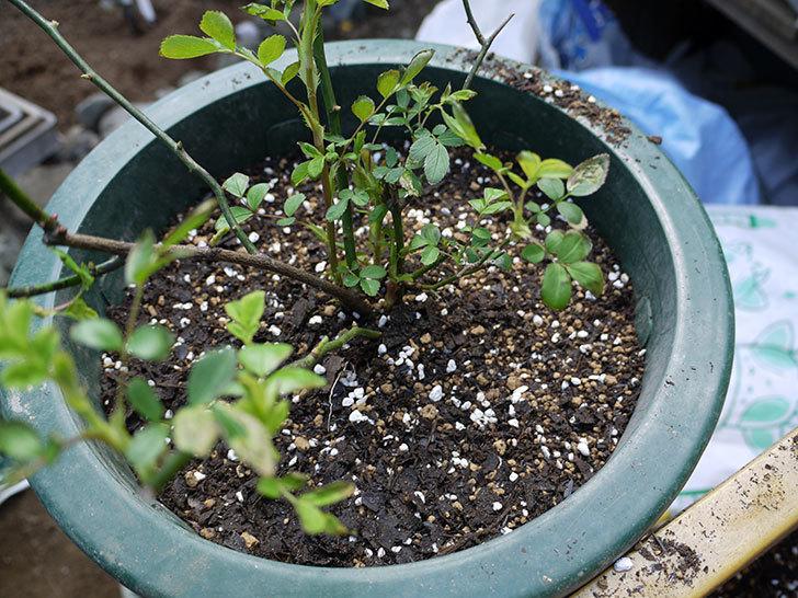 群舞(ツルバラ)をスリット鉢に植えた。2017年-5.jpg