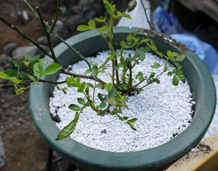 群舞(ツルバラ)をスリット鉢に植えた。2017年-7.jpg