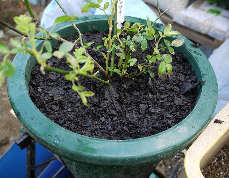 群舞(ツルバラ)をスリット鉢に植えた。2017年-8.jpg