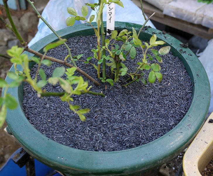 群舞(ツルバラ)をスリット鉢に植えた。2017年-9.jpg