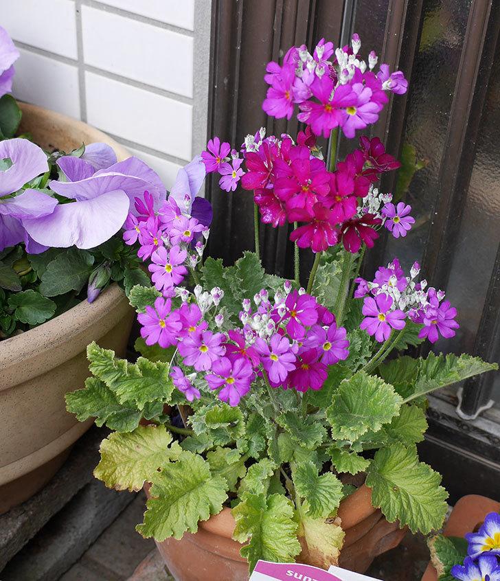 耐寒メラコイデス(プリムラ・マラコイデス)の花が綺麗に咲いた。2018年-1.jpg