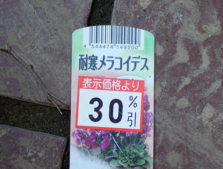 耐寒メラコイデス(プリムラ・マラコイデス)買ってきた。2017年-3.jpg