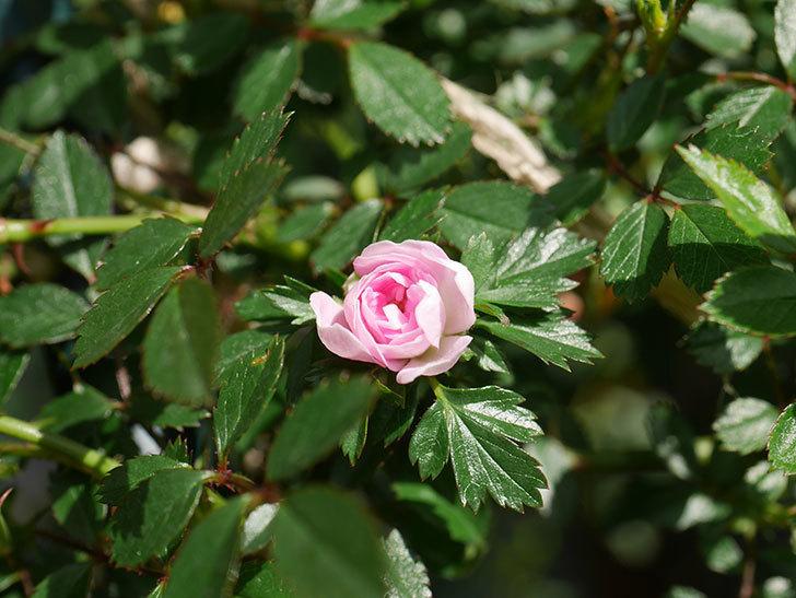 舞姫(マイヒメ)の花が1個咲いた。ツルミニバラ。2021年-003.jpg