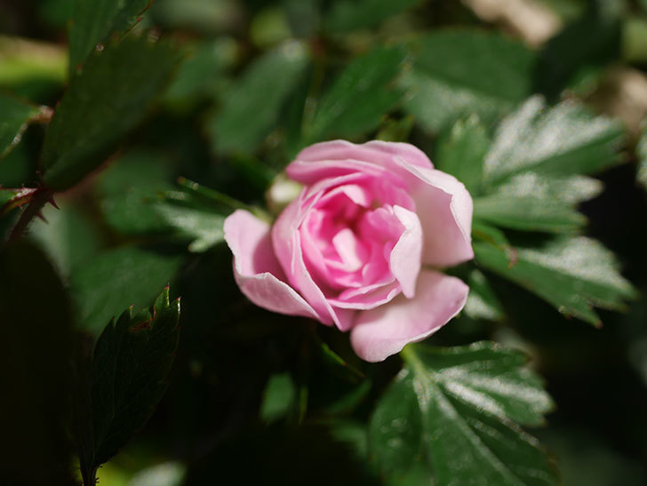 舞姫(マイヒメ)の花が1個咲いた。ツルミニバラ。2021年-004.jpg
