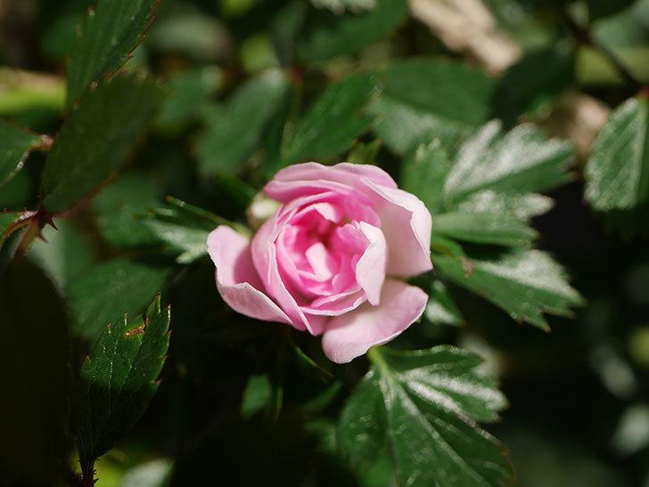 舞姫(マイヒメ)の花が1個咲いた。ツルミニバラ。2021年-005.jpg