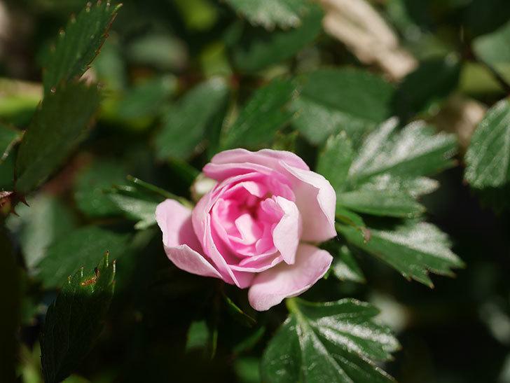 舞姫(マイヒメ)の花が1個咲いた。ツルミニバラ。2021年-006.jpg