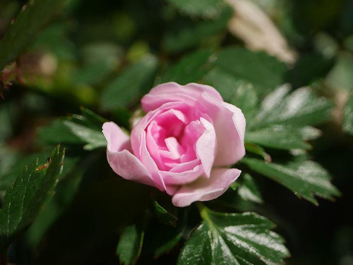 舞姫(マイヒメ)の花が1個咲いた。ツルミニバラ。2021年-007.jpg