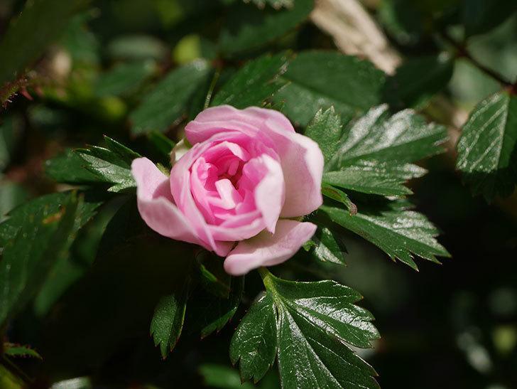 舞姫(マイヒメ)の花が1個咲いた。ツルミニバラ。2021年-008.jpg