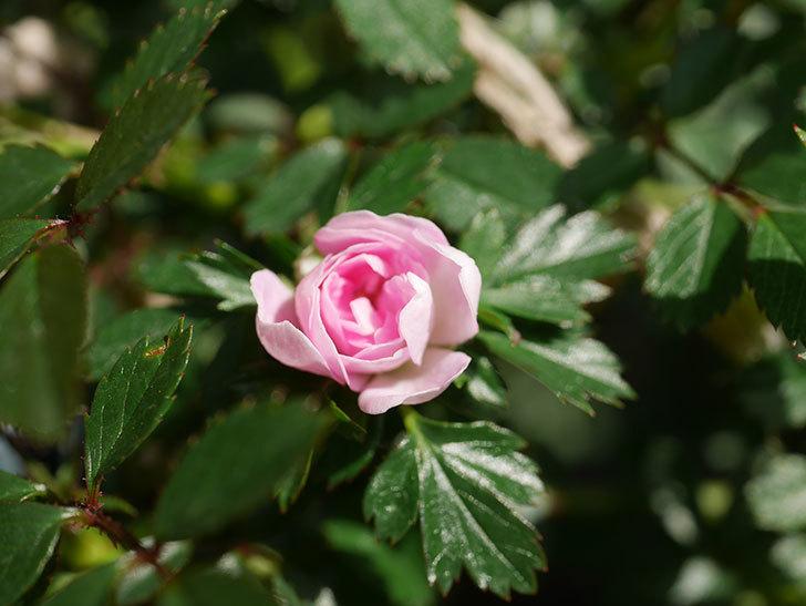 舞姫(マイヒメ)の花が1個咲いた。ツルミニバラ。2021年-009.jpg