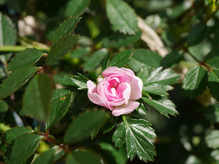 舞姫(マイヒメ)の花が1個咲いた。ツルミニバラ。2021年-010.jpg