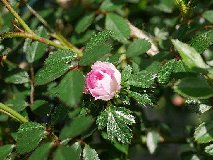 舞姫(マイヒメ)の花が1個咲いた。ツルミニバラ。2021年-013.jpg