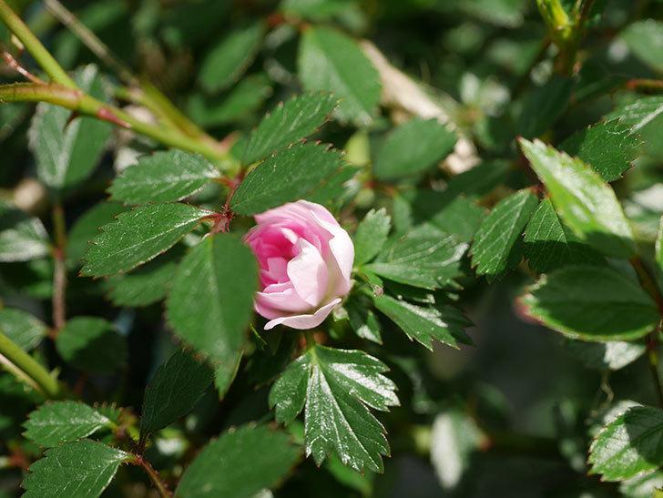 舞姫(マイヒメ)の花が1個咲いた。ツルミニバラ。2021年-014.jpg