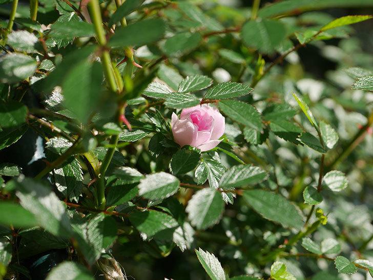 舞姫(マイヒメ)の花が1個咲いた。ツルミニバラ。2021年-016.jpg