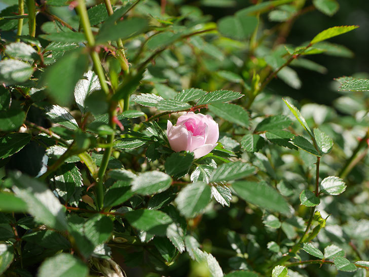 舞姫(マイヒメ)の花が1個咲いた。ツルミニバラ。2021年-017.jpg
