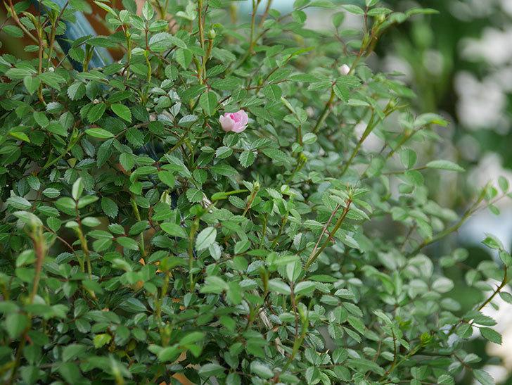 舞姫(マイヒメ)の花が1個咲いた。ツルミニバラ。2021年-023.jpg