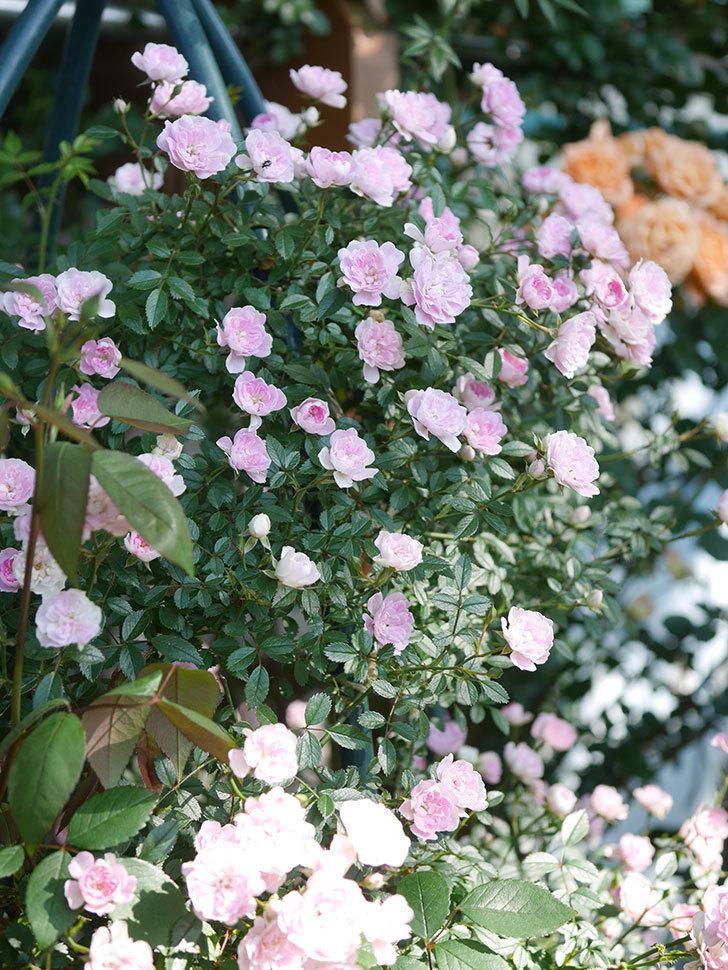 舞姫(マイヒメ)の花がたくさん咲いた。ツルミニバラ。2021年-025.jpg