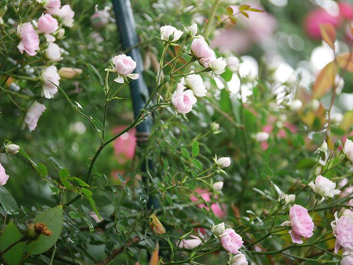 舞姫(マイヒメ)の花が増えて来た。ツルミニバラ。2021年-001.jpg