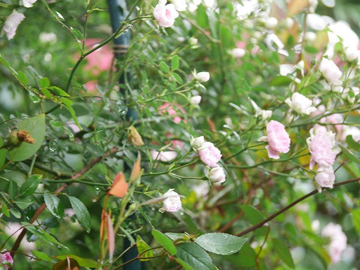 舞姫(マイヒメ)の花が増えて来た。ツルミニバラ。2021年-002.jpg