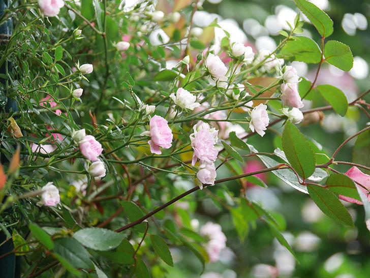 舞姫(マイヒメ)の花が増えて来た。ツルミニバラ。2021年-003.jpg