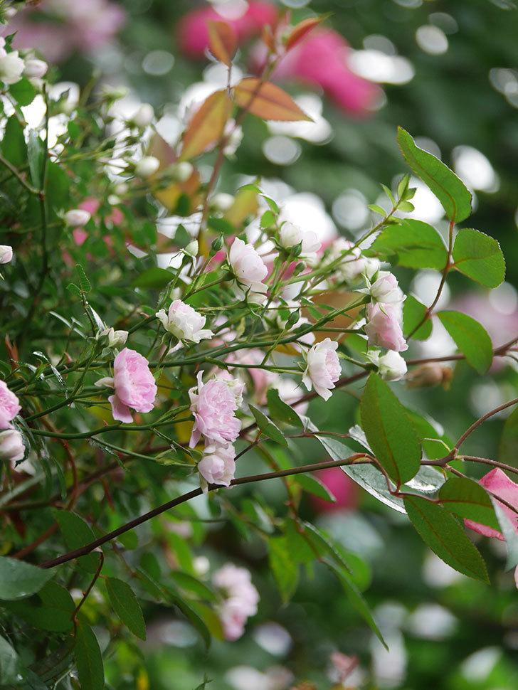 舞姫(マイヒメ)の花が増えて来た。ツルミニバラ。2021年-004.jpg