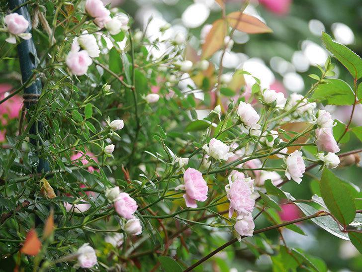 舞姫(マイヒメ)の花が増えて来た。ツルミニバラ。2021年-006.jpg