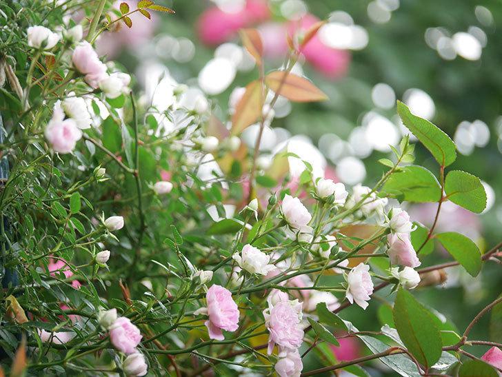 舞姫(マイヒメ)の花が増えて来た。ツルミニバラ。2021年-007.jpg