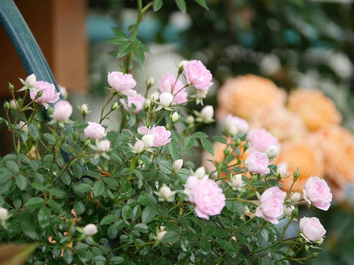 舞姫(マイヒメ)の花が増えて来た。ツルミニバラ。2021年-008.jpg